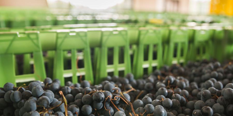 amarone-grapes